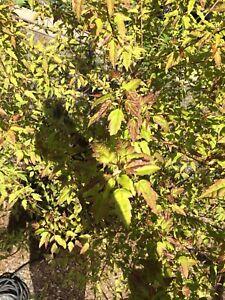 Green Maple Tree Retail $200