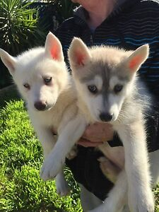 Pure breed Siberian husky puppy's ready for new homes Castlemaine Mount Alexander Area Preview