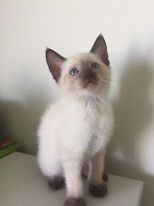 Siamese cats brisbane
