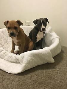 2 puppies for sale Warnbro Rockingham Area Preview