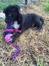 Border Collie/Kelpie cross puppies for sale Yass Yass Valley Preview