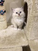 Purebred lynx Ragdoll kittens available to good homes now. Marrickville Marrickville Area Preview