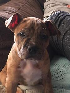 American Staffy Puppies Bentleigh Glen Eira Area Preview