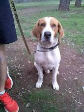 Missing Beagle Albury Albury Area Preview