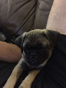 Purebred female pugs ready for forever homes