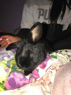 2 female Baby rabbits for sale