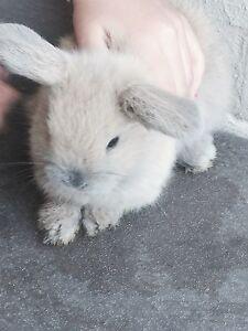 Dwarf lopped eared x mini baby rabbits Fletcher Newcastle Area Preview