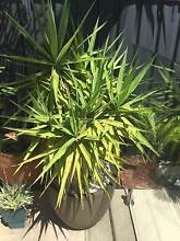 Selection of palms and Dwarf AppleTrees for sale Botany Botany Bay Area Preview