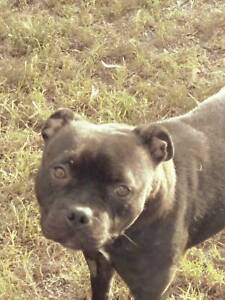 Staffordshire Bull Terrier Female