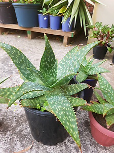 Aloe Vera plants in pot very good size Roxburgh Park Hume Area Preview