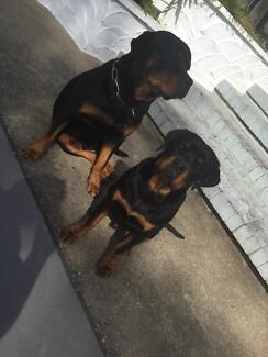 Rottweiler male Waterford Logan Area Preview