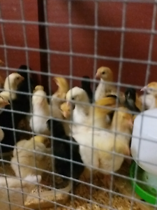 Baby chicks looking for new home Petrie Pine Rivers Area Preview