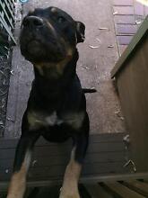 Rottweiler X Kelpie Westmead Parramatta Area Preview