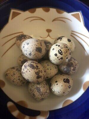 6 Extras Jumbo Coturnix Quail Hatching Eggs Fertile Organically Raised
