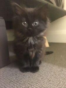Adorable sweet Kitten Lidcombe Auburn Area Preview