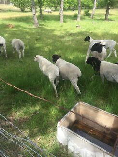 Ram lamb for sale (5mths)