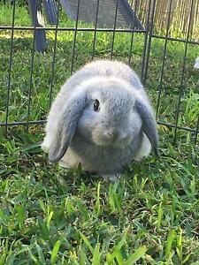 Sweet Healthy Mini Lop Rabbits Pitt Town Pitt Town Hawkesbury Area Preview
