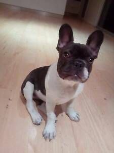 Chocolate pied French bulldog female Glenwood Blacktown Area Preview