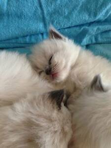 Pure Breed Ragdoll Kittens Strathmerton Moira Area Preview