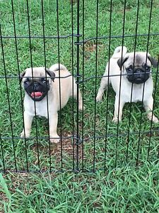 Purebred pug puppies Woombye Maroochydore Area Preview