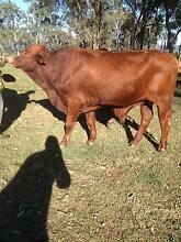 Super Super Quiet PB Droughtmaster Future Bull-Harry Rosevale Ipswich South Preview