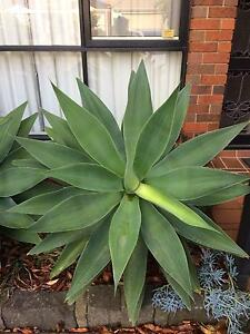 Large healthy agave attenuata Forest Hill Whitehorse Area Preview