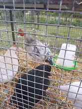 11 week old roosters for sale Medowie Port Stephens Area Preview