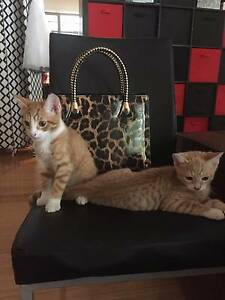 2 Kittens looking for loving homes Helensvale Gold Coast North Preview