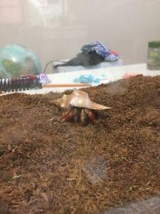 Hermit Crab & Tank $60 OBO