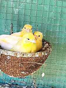 Baby Canaries for sale Lake Cathie Port Macquarie City Preview