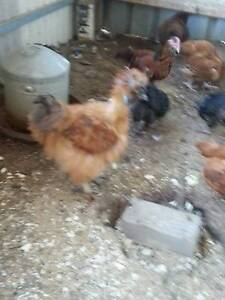 3  BUFF  ROOSTERS $10 each Two Wells Mallala Area Preview