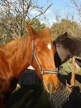 horse and pony, hay, grass, 15hh, project, breed, Westerway Derwent Valley Preview