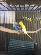Baby Budgies Greenacres Port Adelaide Area Preview