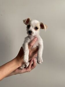 Jack Russell x Mini Foxie male pup