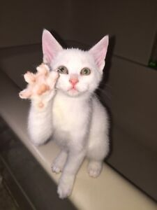 Playful Pure White Kittens