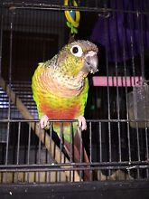 Green cheek conure plus cage, toys and food Highland Park Gold Coast City Preview