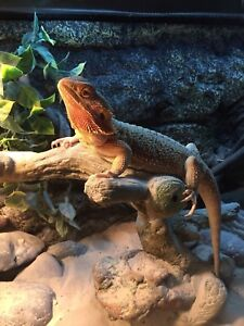 1 year old male bearded dragon with setup