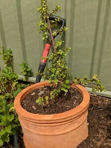 Jade plant with terracotta pot Oaks Estate Queanbeyan Area Preview