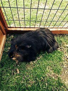 Guinea pig & the cage Runcorn Brisbane South West Preview
