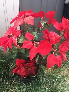 Poinsettias arrangement.