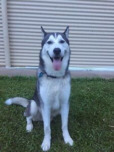 Siberian Husky (Must go to a good home) open to near offers! Redlynch Cairns City Preview