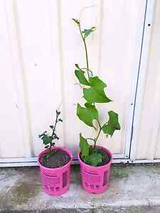 Choko Plant For Sale Wattle Grove Liverpool Area Preview