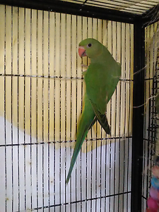 Indian Ringnecks handraised Caboolture Caboolture Area Preview