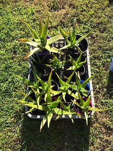 Aloe Vera plants for sale Soldiers Point Port Stephens Area Preview
