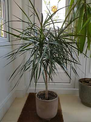 Large Madagascar dragon tree