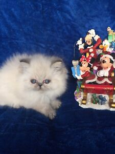 HIMALAYANS PURE BREED FLAT FACE KITTENS