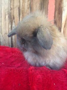 Purebred Mini lop Rabbit Ringwood Maroondah Area Preview