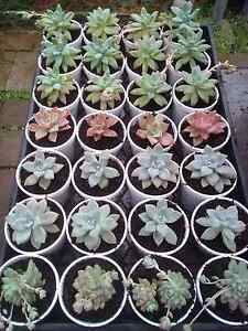 Wedding succulent plants Bidwill Blacktown Area Preview