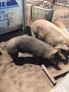 Breeding pigs trio