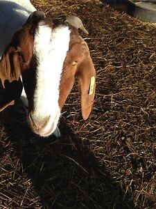 Wanted: Male Boer Goat